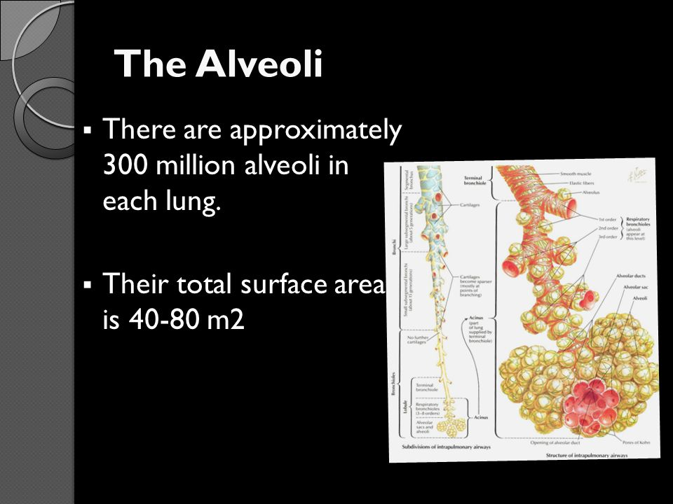 The Alveoli There are approximately 300 million alveoli in each lung.