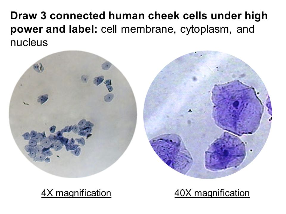 draw 3 connected human cheek cells under high power and label: cell  membrane, cytoplasm