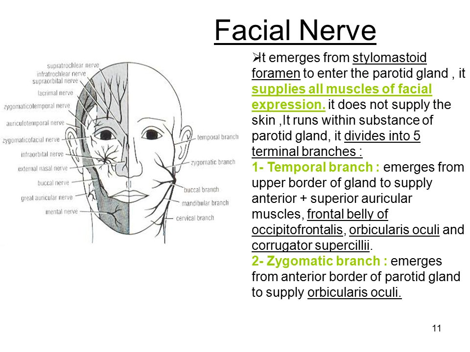 Skin innervation of the face - ppt download