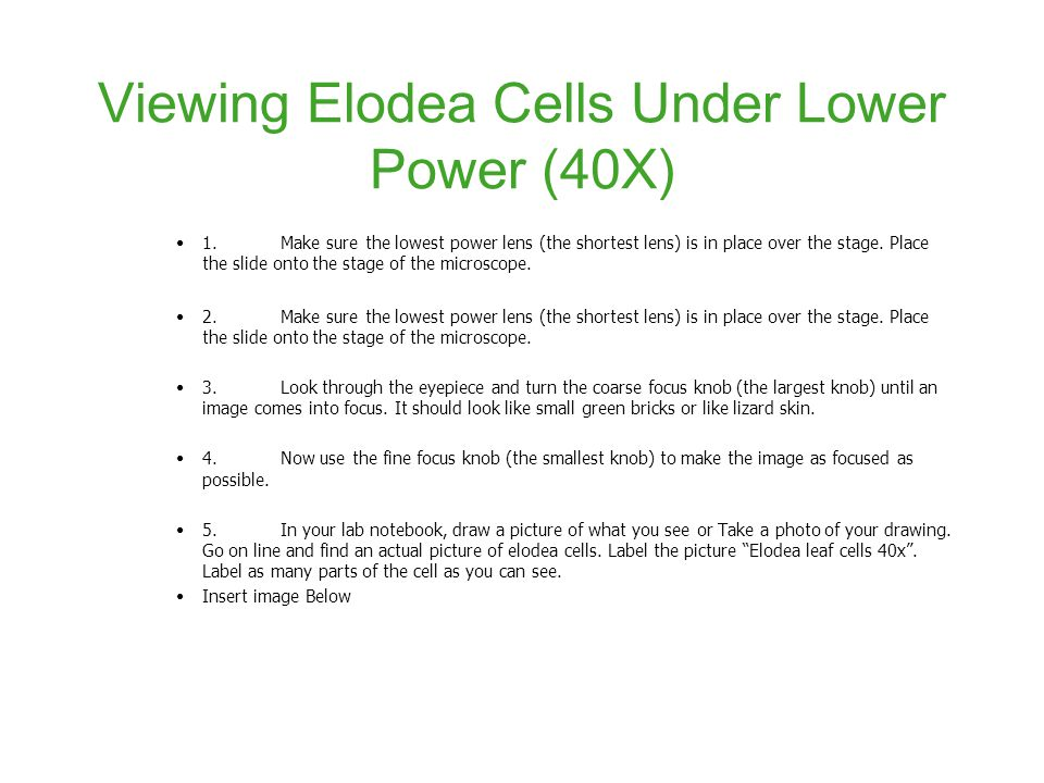 viewing elodea cells under lower power (40x)
