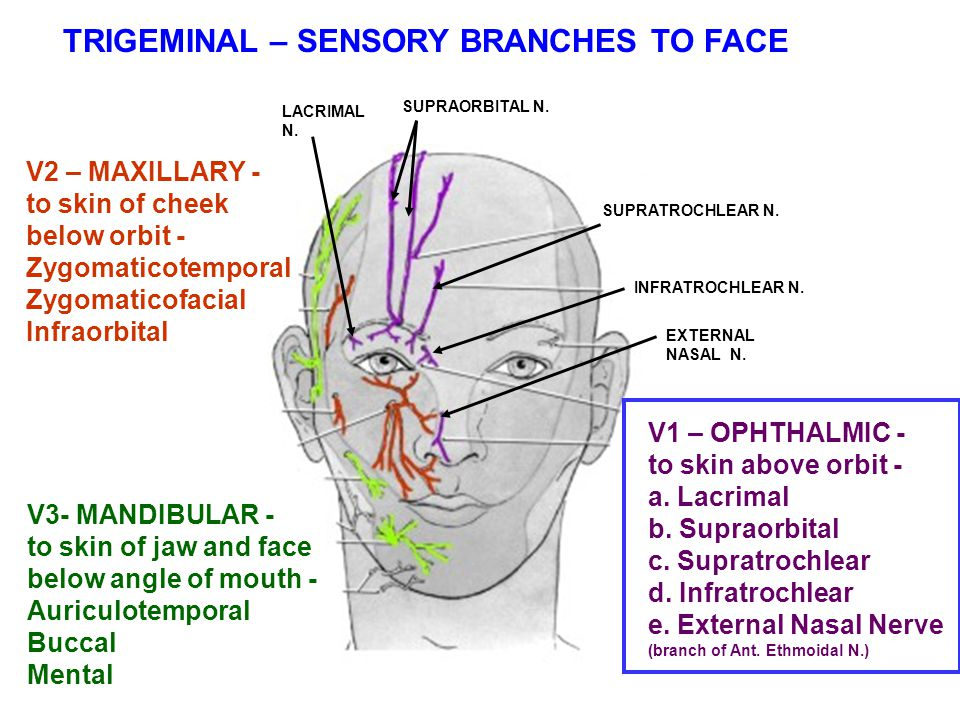 Branches Of The Trigeminal Nerve All Branches Of Trigeminal Nerve