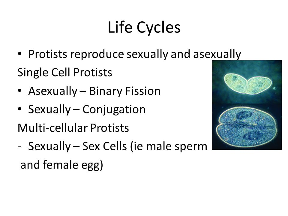 Life Cycles Protists reproduce sexually and asexually
