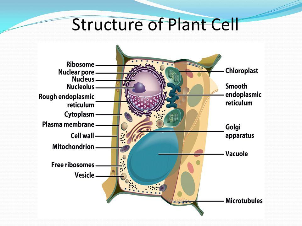Structure+of+Plant+Cell microtubules plant cell diagram modern design of wiring diagram \u2022