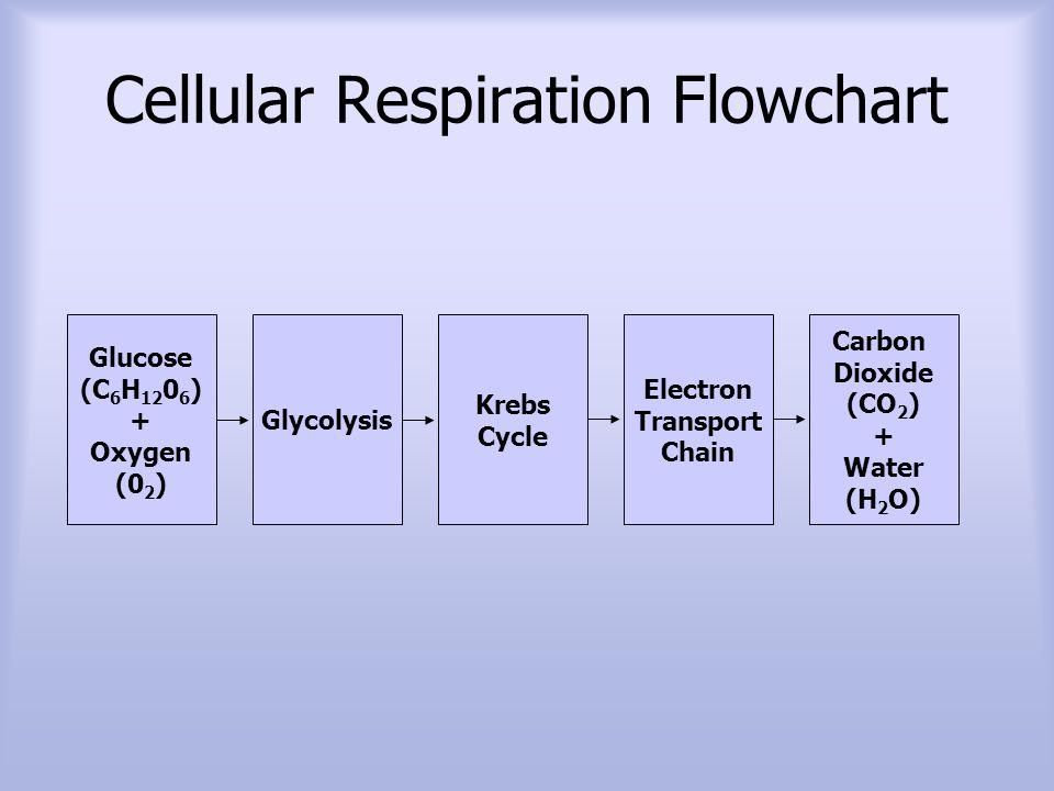 Cellular Respiration Harvesting Chemical Energy Ppt Video