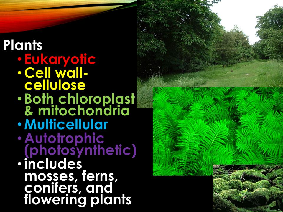 Plants Eukaryotic. Cell wall- cellulose. Both chloroplast & mitochondria. Multicellular. Autotrophic (photosynthetic)