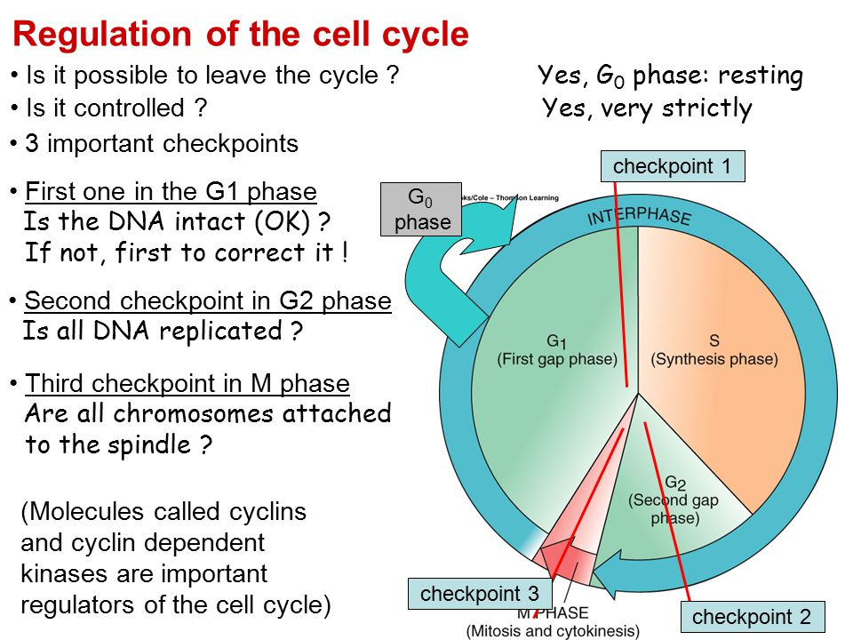 Regulation Of The Cell Cycle on Cell Division Mitosis And Meiosis