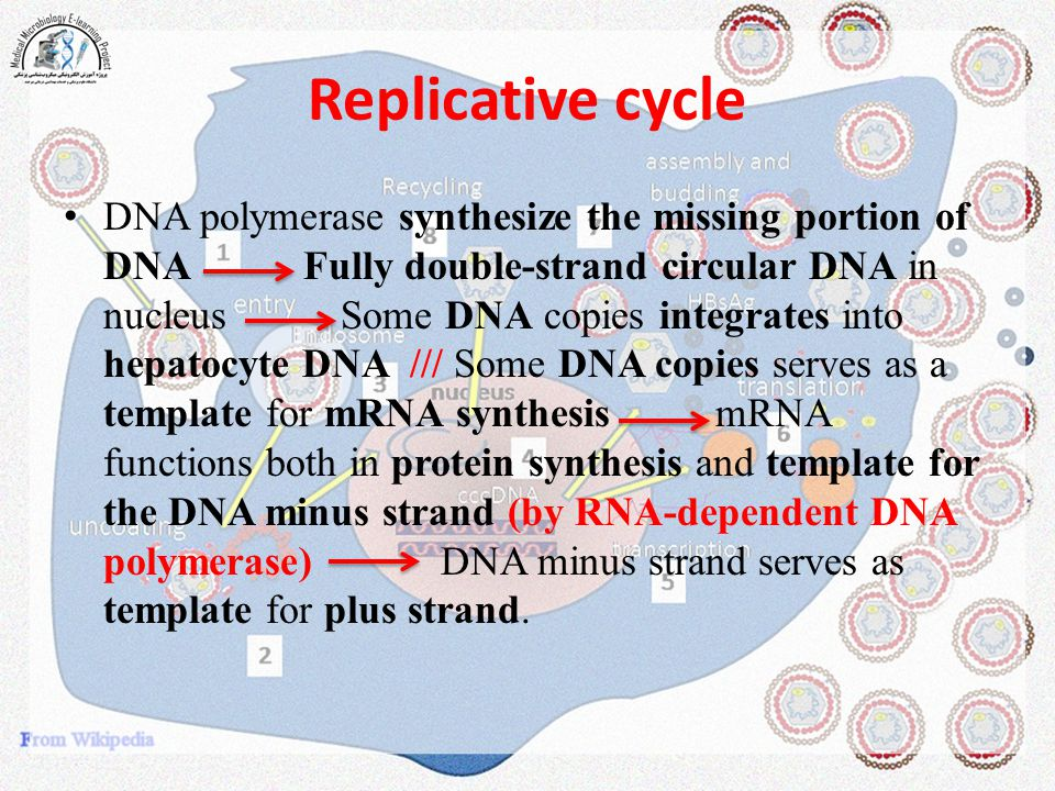 Replicative cycle