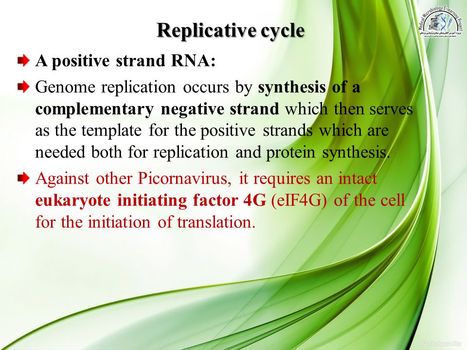 Replicative cycle A positive strand RNA: