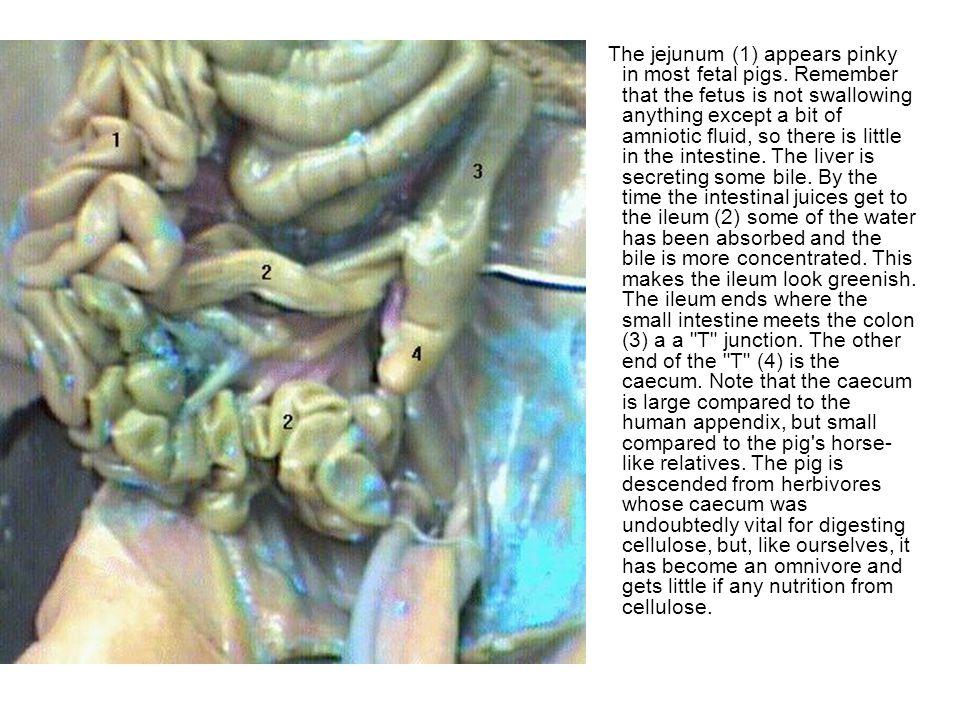 Jejunum Fetal Pig Digestive System Diagram - Introduction To ...