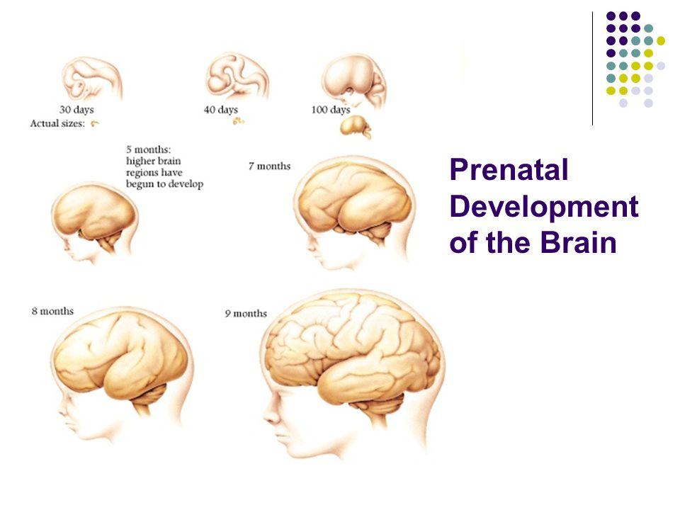 Prenatal Development and Birth - ppt video online download