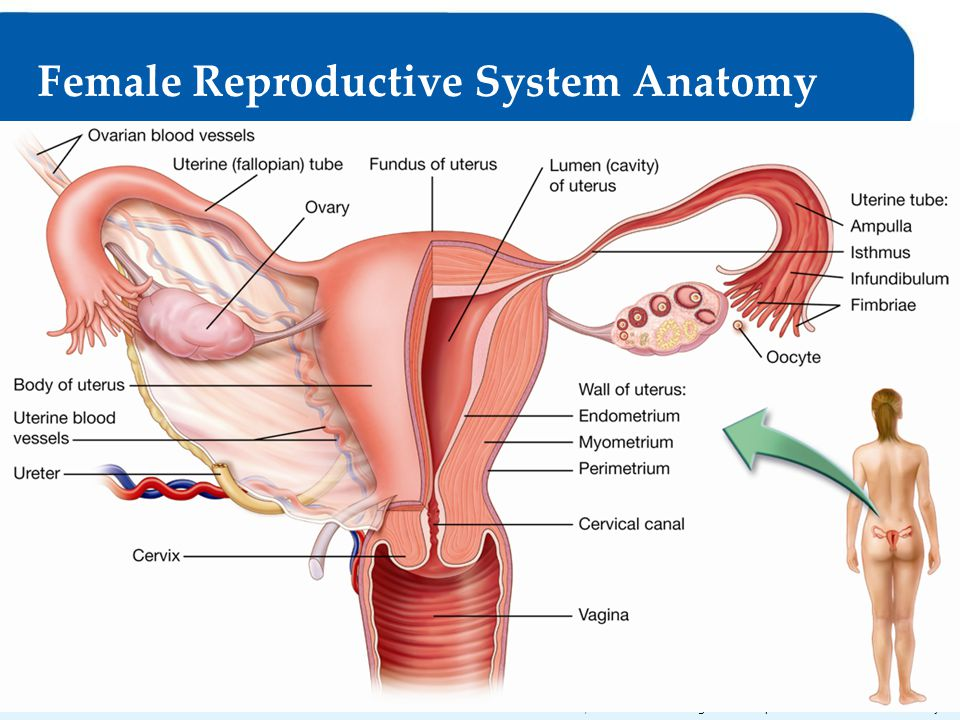 Anatomy Of The Reproductive System Choice Image - human body anatomy