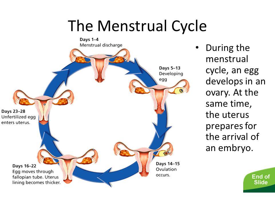 Safe Version Reproductive System Ppt Video Online Download