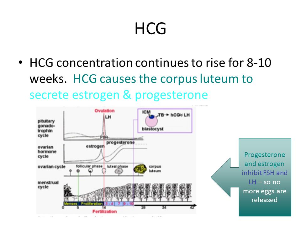 HCG HCG concentration continues to rise for 8-10 weeks. HCG causes the corpus luteum to secrete estrogen & progesterone.