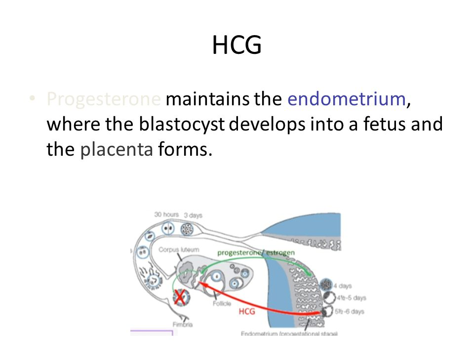 HCG Progesterone maintains the endometrium, where the blastocyst develops into a fetus and the placenta forms.