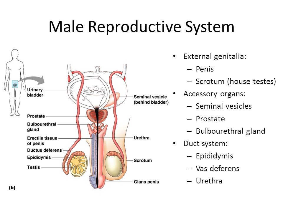 Reproductive System Concept Map.The Reproductive System Ppt Video Online Download