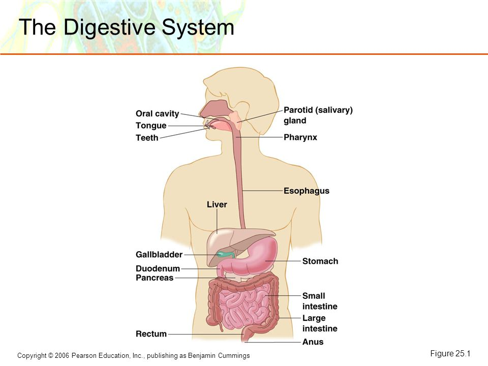 Microbial diseases of the digestive system ppt video online download 3 the digestive system figure 251 ccuart Image collections