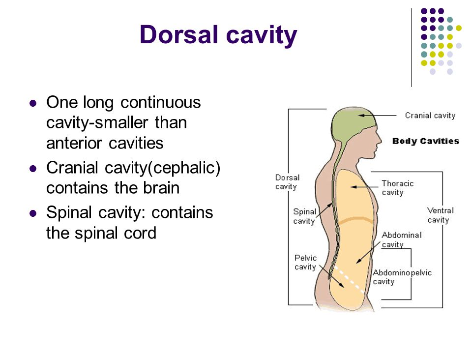 Dorsal cavity One long continuous cavity-smaller than anterior cavities. Cranial cavity(cephalic) contains the brain.