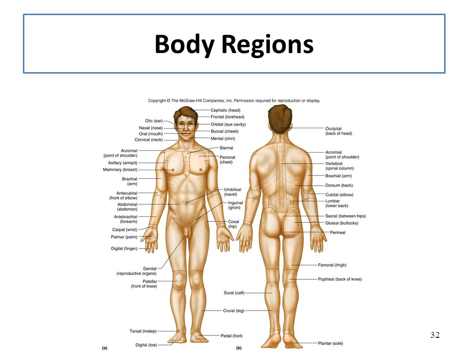 15 Anatomical Terminology Ppt Video Online Download