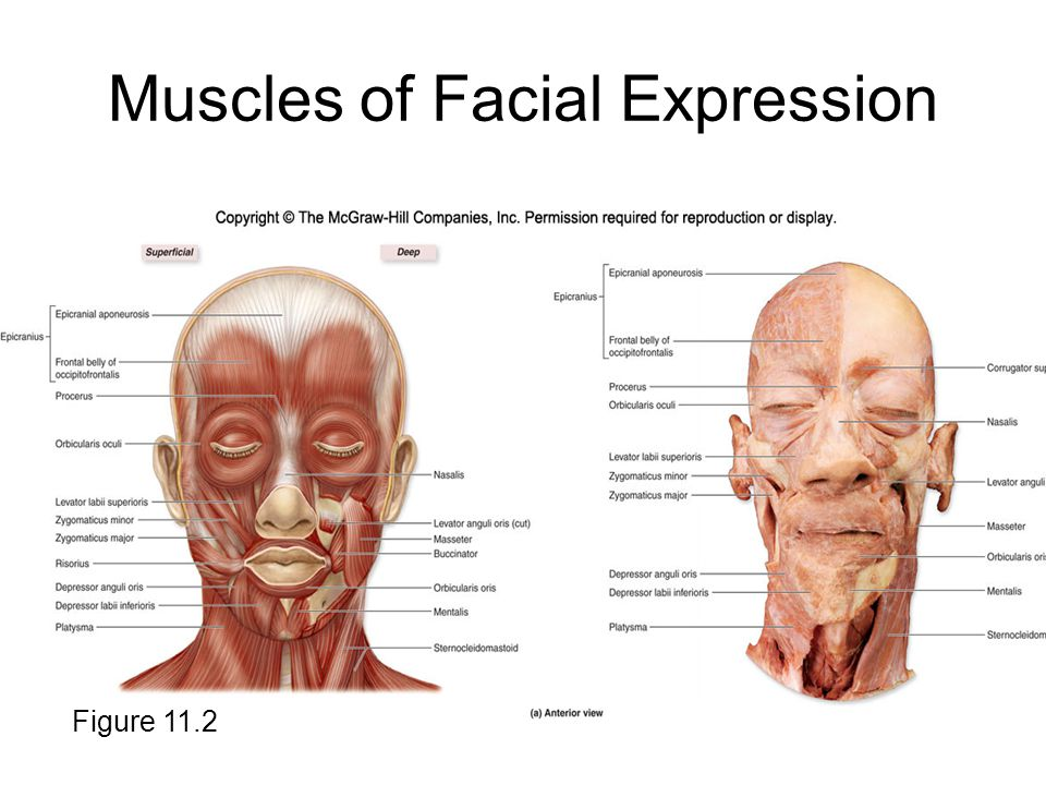Facial Muscles Diagram Mcgraw Hill Circuit Connection Diagram