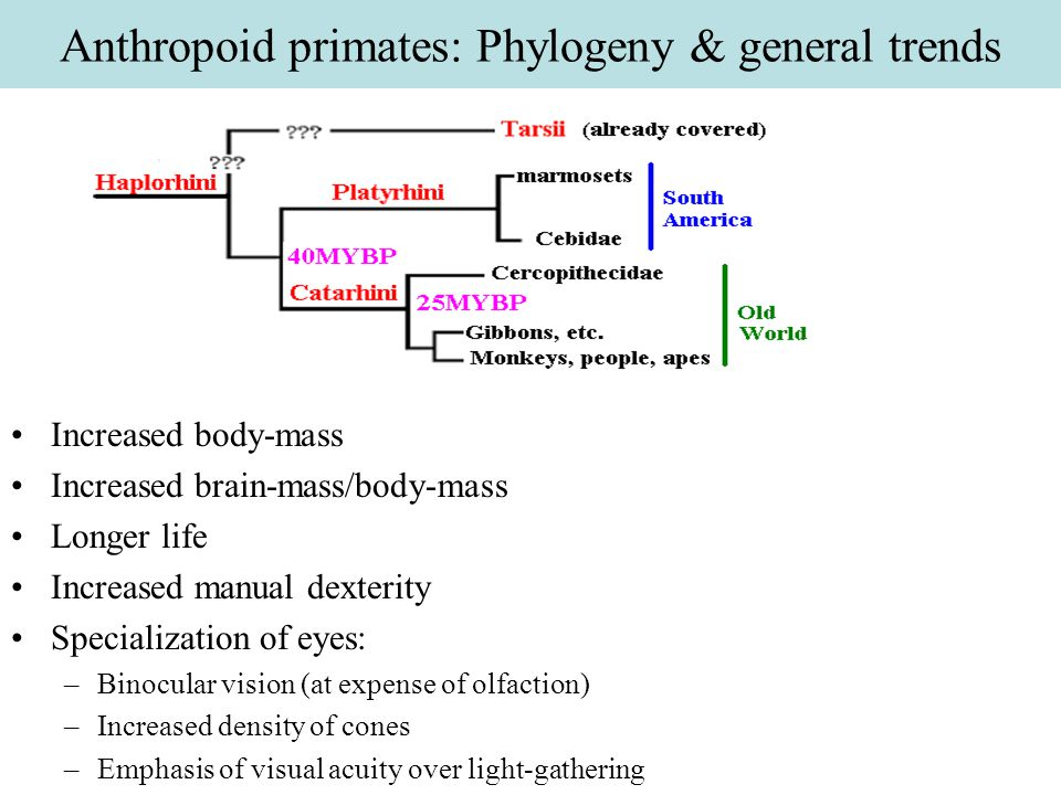 Cercopithecidae Phylogeny