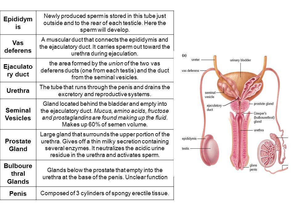 porn-testicle-size-sperm-production