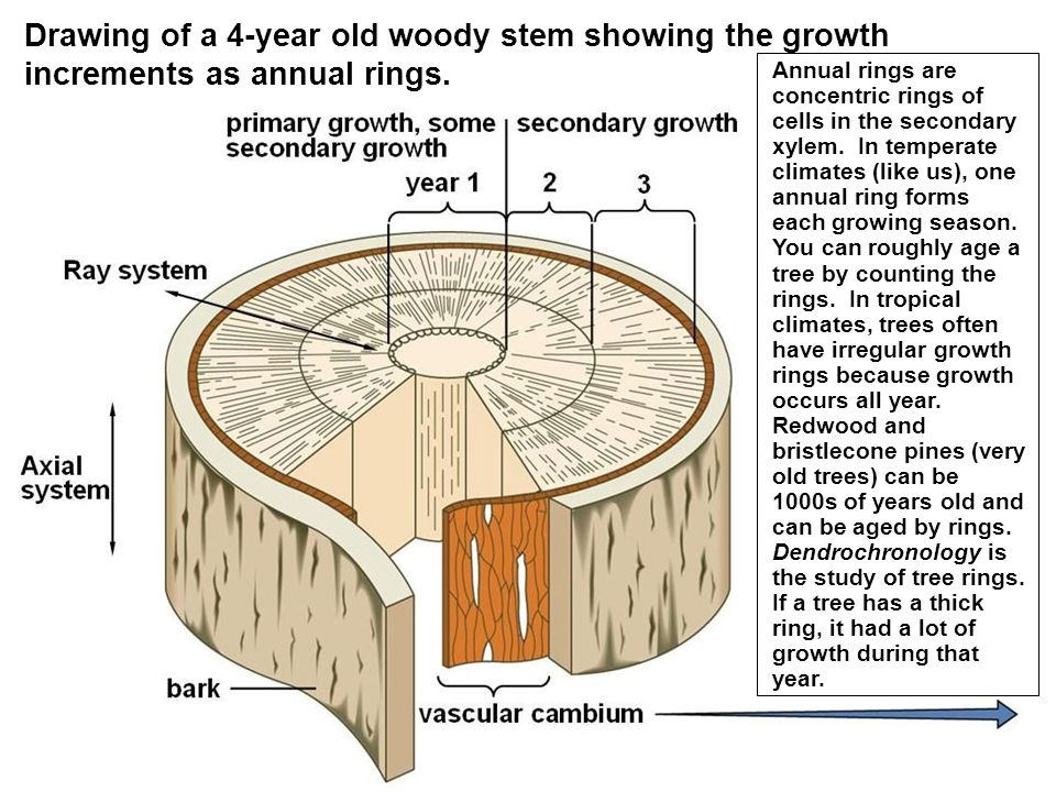 Secondary growth and the anatomy of wood ppt video online download drawing of a 4 year old woody stem showing the growth increments as annual rings ccuart Gallery