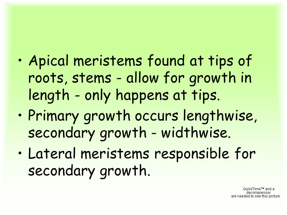 Apical meristems found at tips of roots, stems - allow for growth in length - only happens at tips.