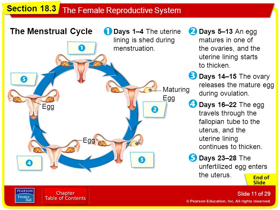 a study between the relation of a womans menstrual cycle and color choices Controversy about the relationship between a woman's menstrual cycle and hypoglycemia exists, however for example, a clinical study by robert reid, alison greenaway-coates and philip hahn of the kingston general hospital's clinical investigation unit in ontario, canada, debunks the theory.