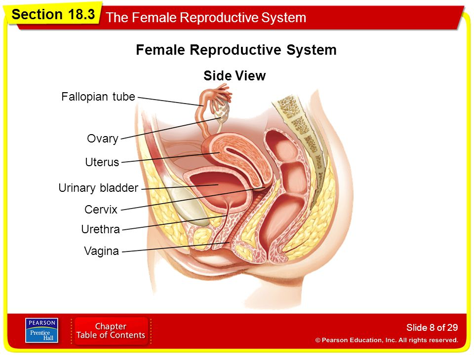 Section 18.3 The Female Reproductive System Objectives - ppt video ...