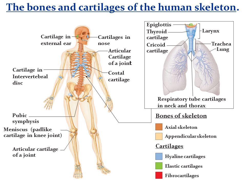 The Skeletal System (Chp 6). - ppt video online download