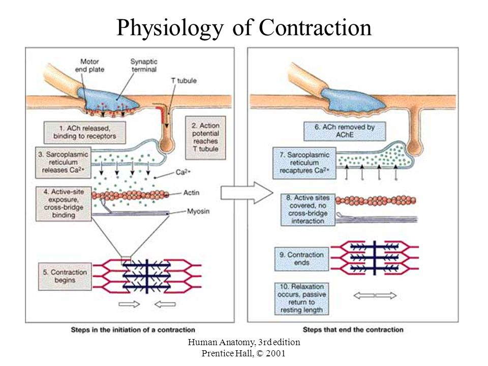 Diagram Of Muscle Physiology Contraction Relaxation - DIY ...