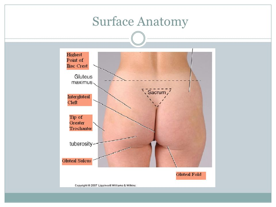 Nice Buttock Anatomy Surface Image Collection - Anatomy And ...
