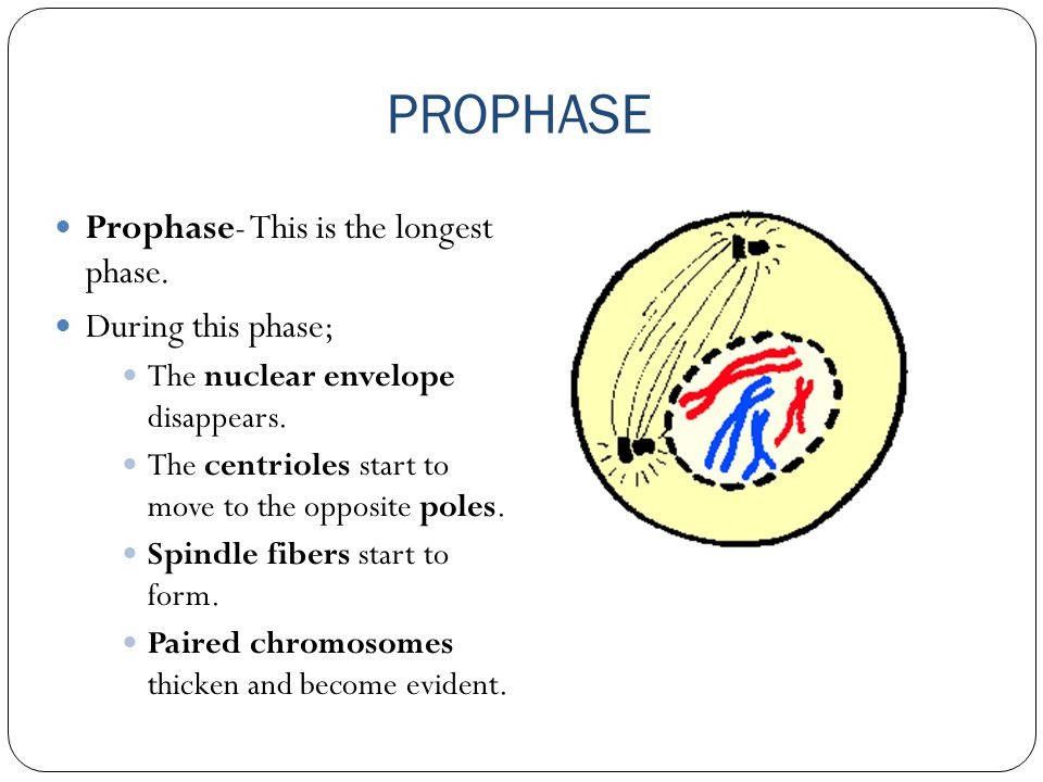 PROPHASE Prophase- This is the longest phase. During this phase;