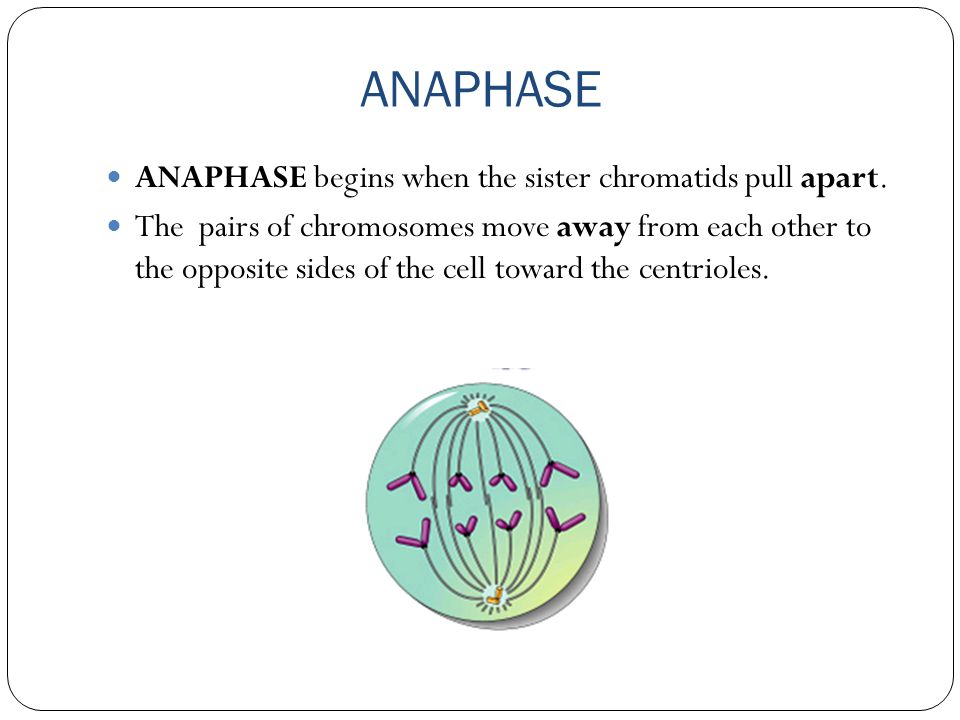 ANAPHASE ANAPHASE begins when the sister chromatids pull apart.
