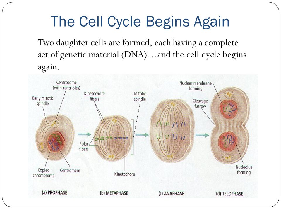 The Cell Cycle Begins Again