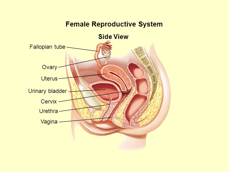 Human reproductive system ppt video online download female reproductive system ccuart Choice Image