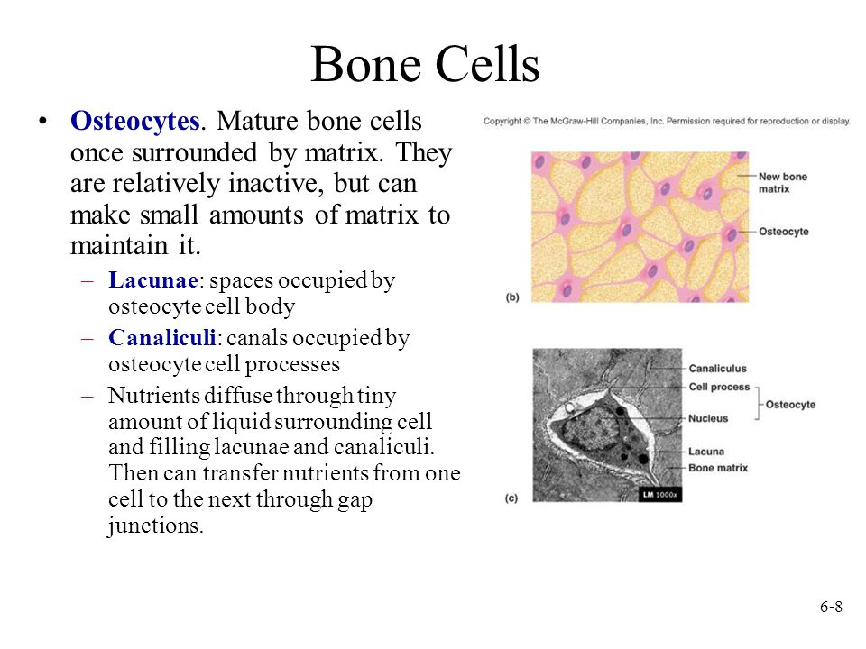 Mature bone cells are called a Chondrocytes b Osteoblasts c.