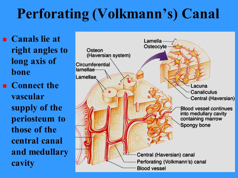 BONES AND BONE TISSUES CHAPTER ppt video online download