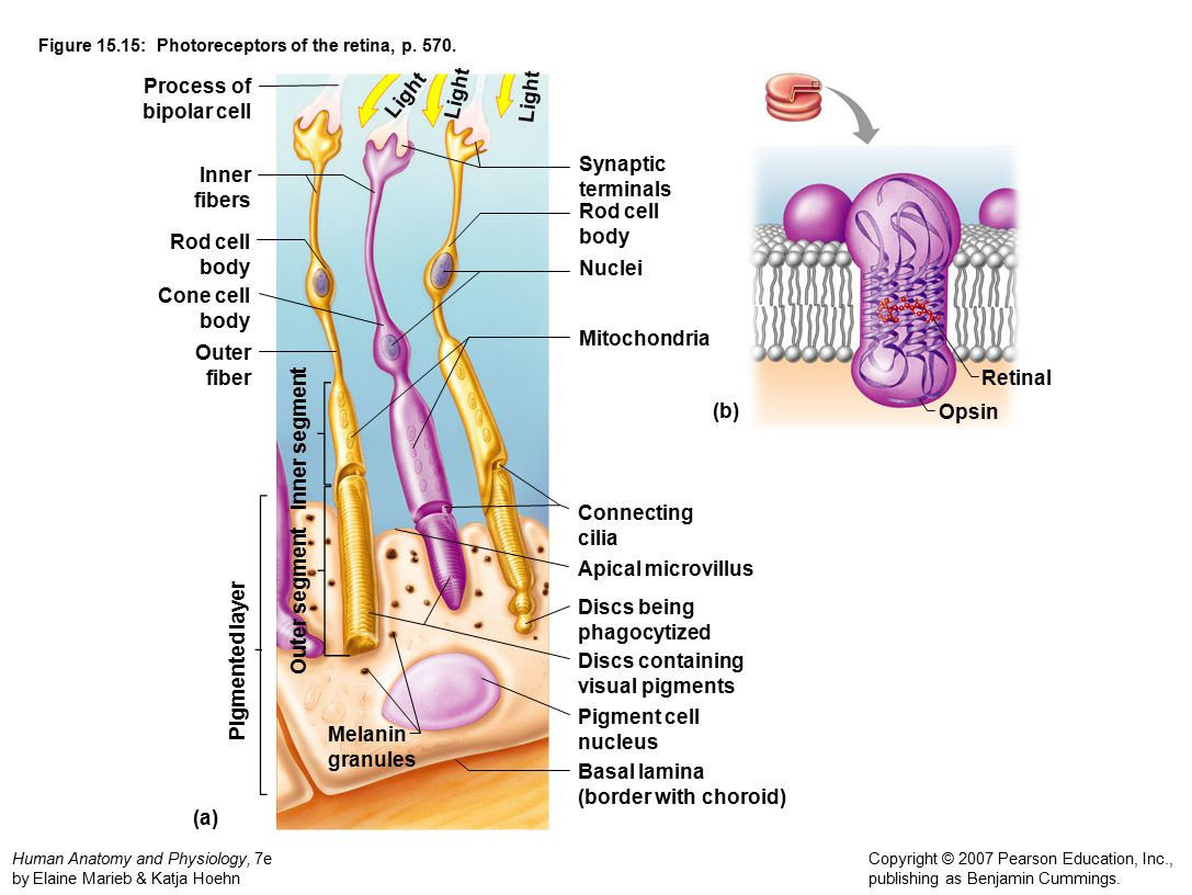 Awesome Retina Anatomy Ppt Gift - Anatomy and Physiology Tissue ...