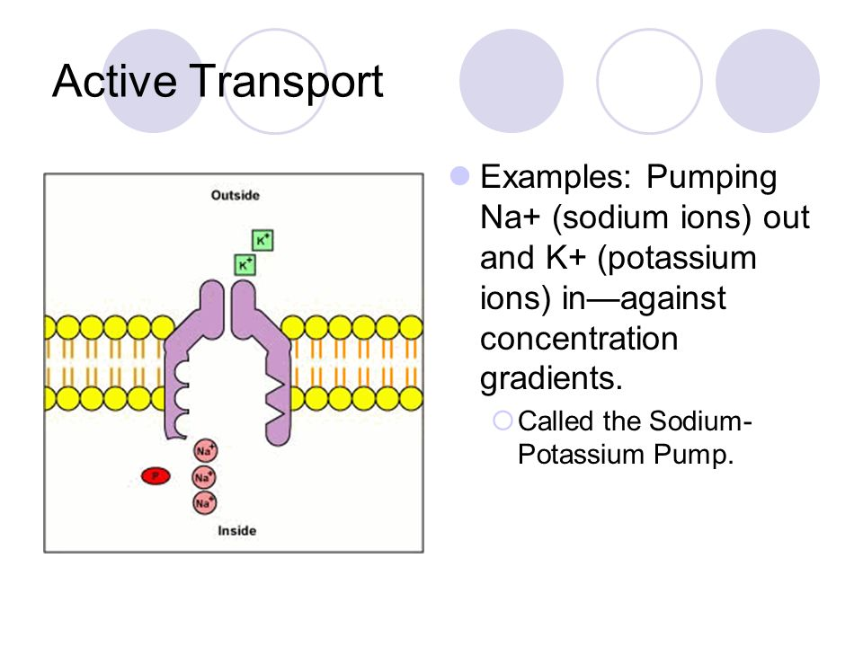 Active Transport Examples: Pumping Na+ (sodium ions) out and K+ (potassium ions) in—against concentration gradients.