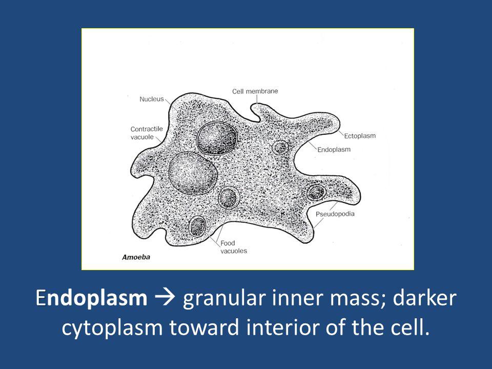 function of food vacuole in amoeba