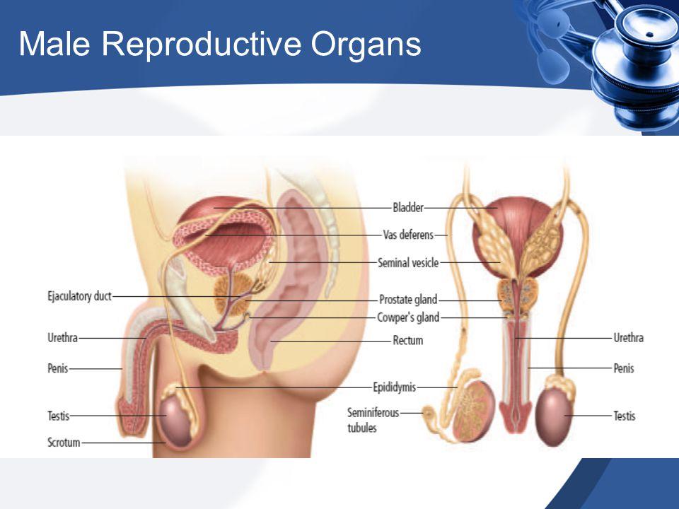 Seminiferous Tubules Male Reproductive System Anatomy Images - human ...