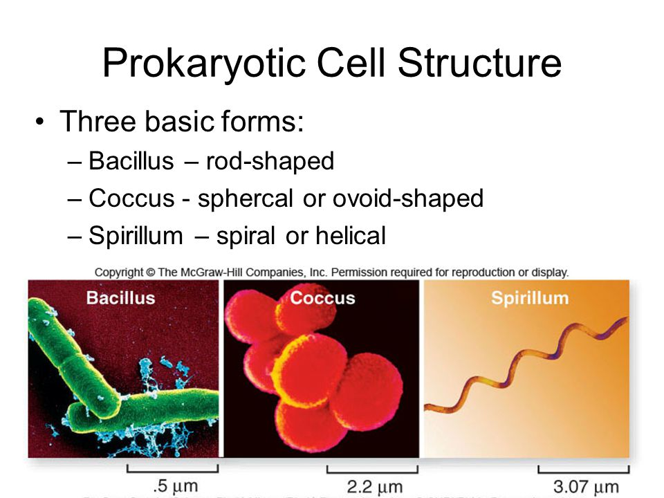 Prokaryotic Cell Structure