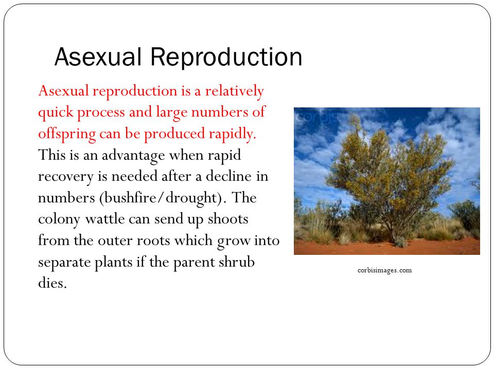 Spinifex grass asexual reproduction advantages