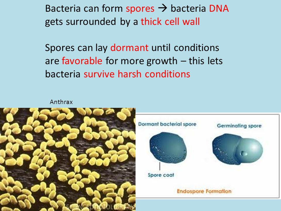 Bacteria can form spores  bacteria DNA gets surrounded by a thick cell wall