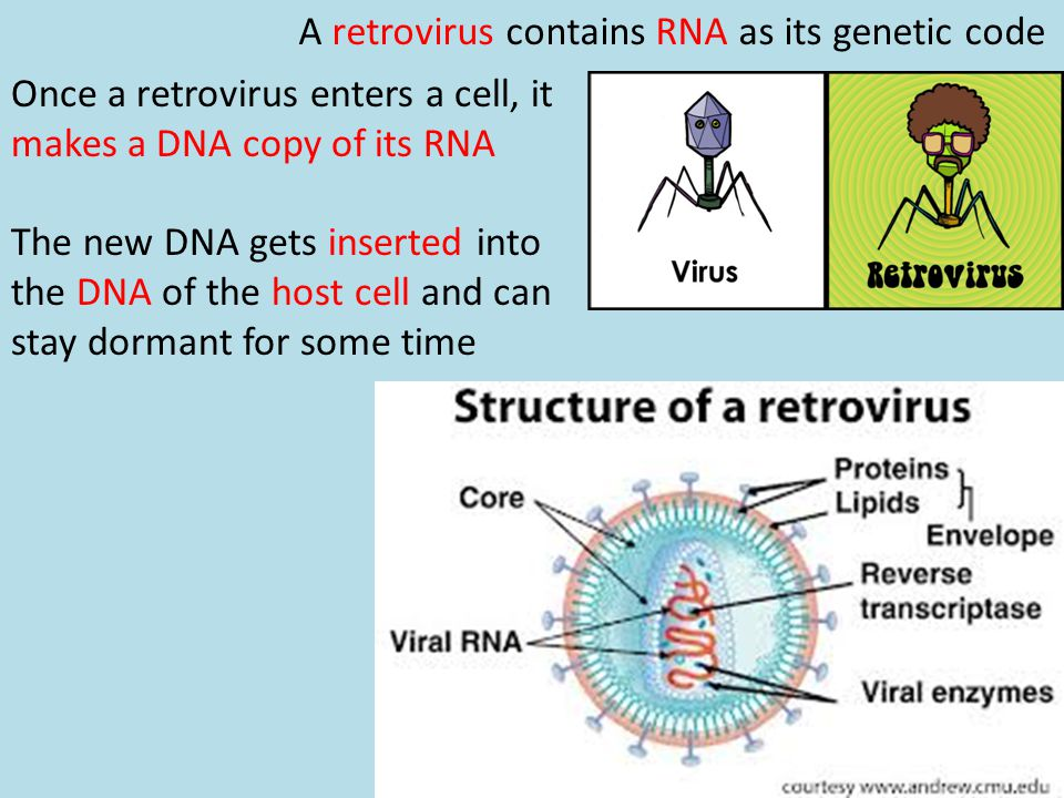 A retrovirus contains RNA as its genetic code
