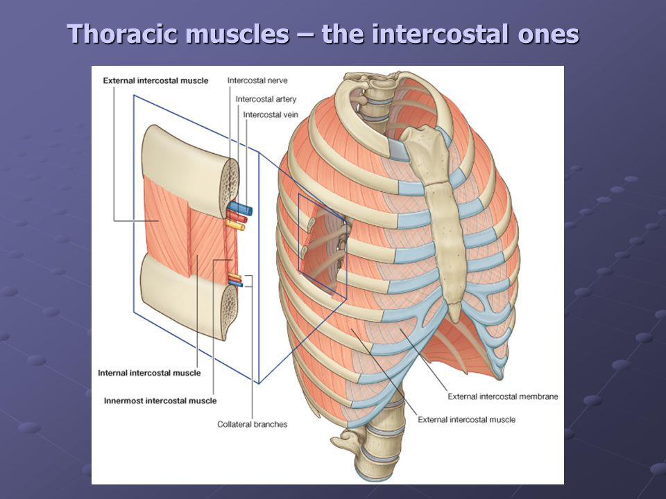 Thoracic Cage Diaphragm Ppt Video Online Download