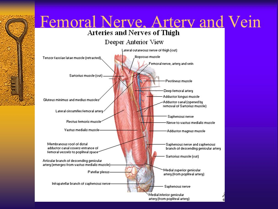 Femoral Nerve, Artery and Vein