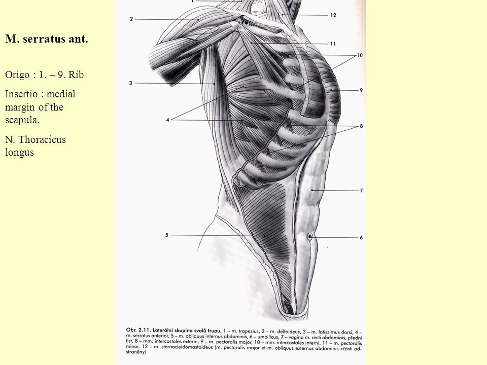 MUSCULI THORACIS Institute of Anatomy 2nd and 1st Medical Faculty R ...