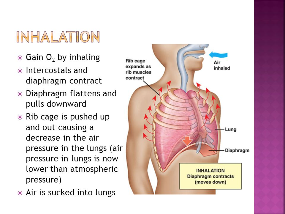 Inhalation Gain O2 by inhaling Intercostals and diaphragm contract